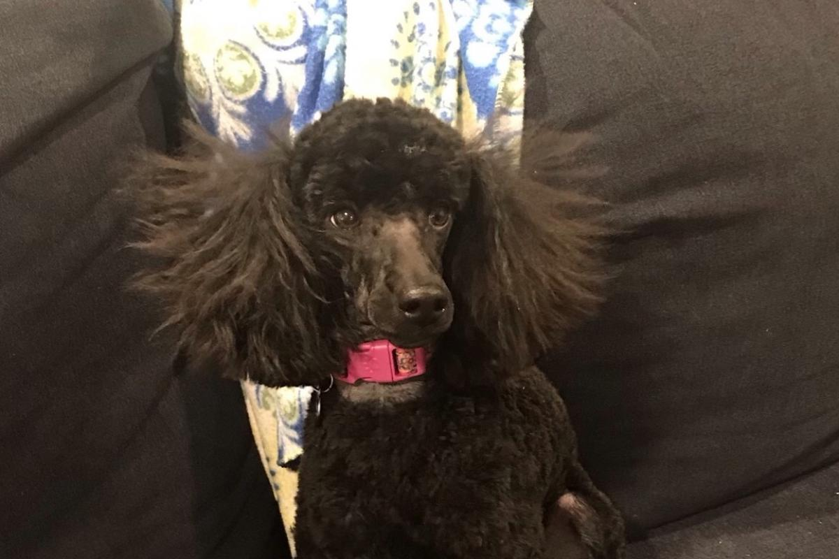 This is Zoey, a one year old miniature poodle who belongs to Meredith, Mark and Julie Weiner.