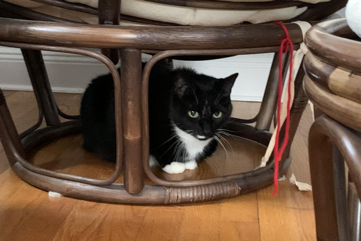 25. Beatrix Louise families Sheldon Gold a Tuxedo Cat hanging out in his safe place!