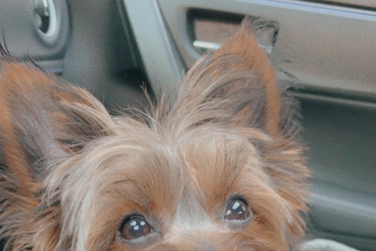 2. Bruno - Yorkshire Terrier  - Tapia Family