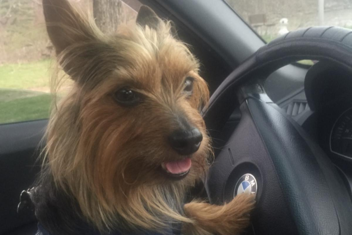 Family name: Flores Breed: Yorkie-male 6 years old Pet name: Mojo