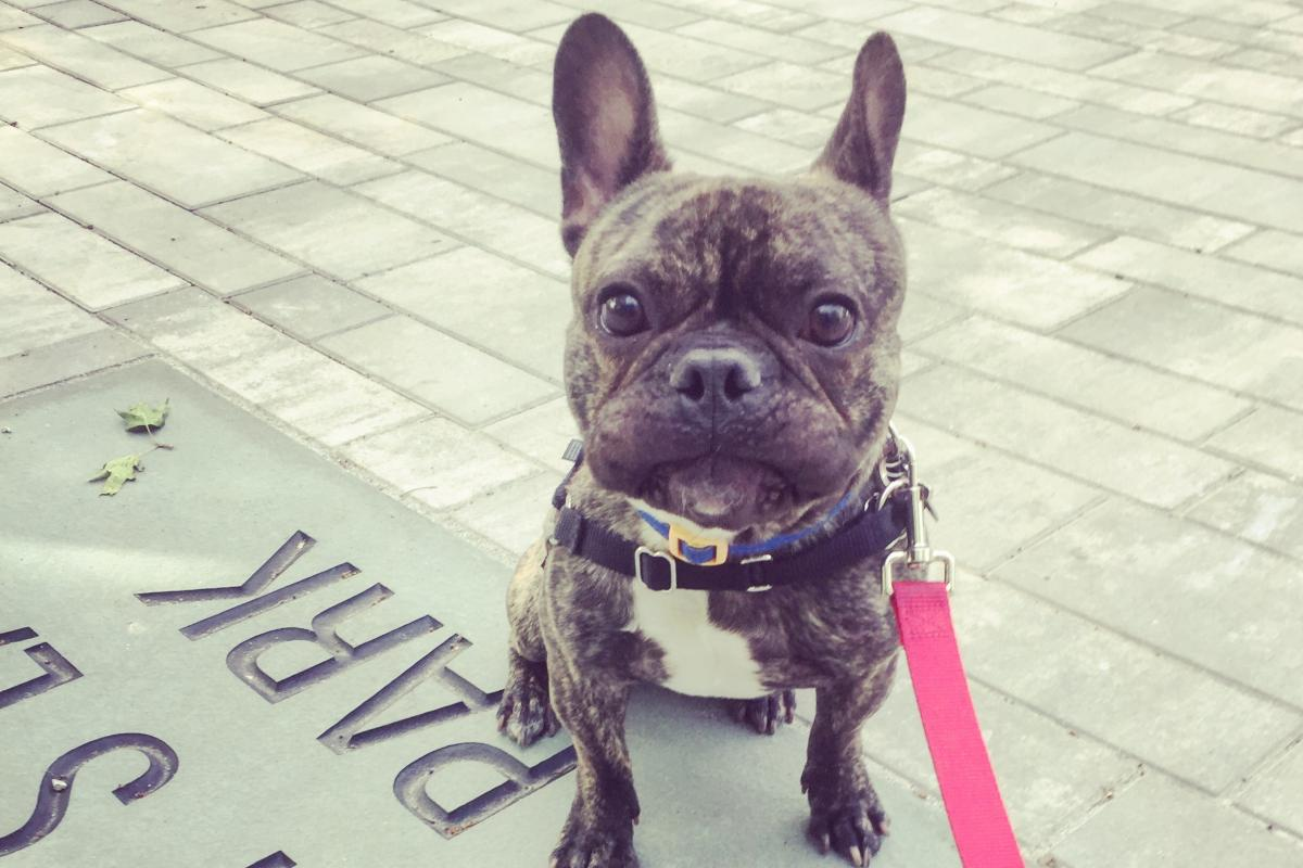49. French bulldog, Chili Norman. He is holding a Sneeze for the Photo!